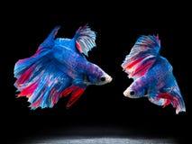 Siam fighting fish on black, betta fish Royalty Free Stock Photo