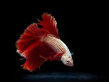 Siam fighting fish on black, betta fish Stock Photography