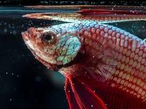 Siam fighting fish on black, betta fish Stock Photo