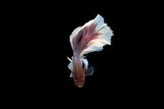 Siam Fighting Fish op zwarte achtergrond royalty-vrije stock fotografie