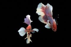 Siam Fighting Fish op zwarte achtergrond royalty-vrije stock afbeeldingen
