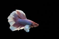 Siam Fighting Fish op zwarte achtergrond stock foto's