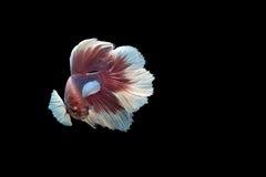 Siam Fighting Fish op zwarte achtergrond stock fotografie
