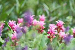 Siam flowersCurcuma tulipanowy aeruqinosa Roxb otoczak kwitnie w polu kwiaty Obrazy Royalty Free