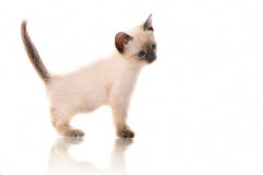 Siam kitty Stock Photography
