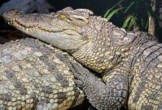 Siam krokodil 11   Royaltyfri Bild