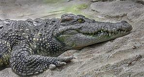 Siam krokodil på sanden Arkivbilder