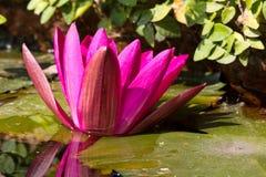 Siam Lotus. Closeup Shot of Pink Petal Lotus in the Water Basin Stock Photos
