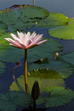 Siam Lotus. Blossom of Siam Lotus with Light-Pink Petals in the Pond Royalty Free Stock Images