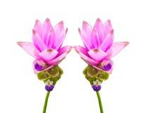 siam różowy tulipan obrazy stock