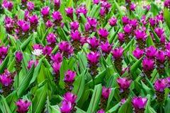 Siam Tulip Imagenes de archivo