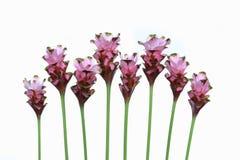 Siam tulip. Stock Photos