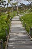 Siam Tulip. A Walk Way in Siam Tulip Stock Photo