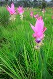 Siam-Tulip Stock Photography