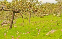 Siam tulip. At Chaiyaphum Province, Thailand royalty free stock photo