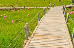 Siam tulip. And bridge at Chaiyaphum Province, Thailand royalty free stock photo