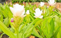 Siam tulip. At Chaiyaphum Province, Thailand stock photography