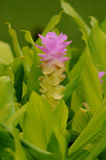 Siam Tulip Immagine Stock Libera da Diritti