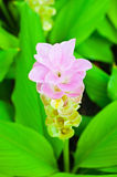 Siam Tulip image libre de droits