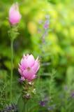 Siam Tulip Imagem de Stock Royalty Free