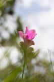 Siam Tulip Lizenzfreie Stockfotos