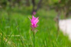 Siam Tulip Stockfoto