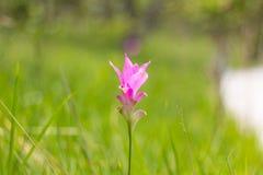Siam Tulip Stockbild
