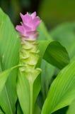 Siam Tulip Royalty-vrije Stock Afbeeldingen