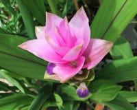 Siam Tulip Fotos de Stock Royalty Free