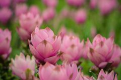Siam Tulip Fotografia de Stock