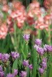 Siam Tulip stock foto's