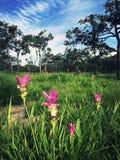 Siam Tulip Photographie stock libre de droits