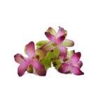Siam Tulip Stockfotos