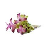 Siam Tulip Lizenzfreie Stockbilder
