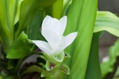 Siam Tulip imagen de archivo libre de regalías