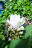 Siam Tulip fotografía de archivo