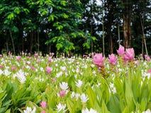 Siam Tulip Stock Afbeelding
