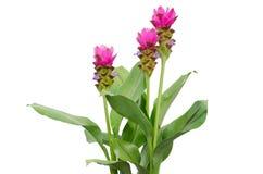 Siam Tulip imagens de stock