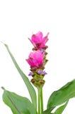 Siam Tulip fotografia de stock royalty free