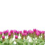Siam Tulip foto de stock royalty free