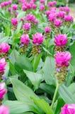 Siam Tulip imagem de stock