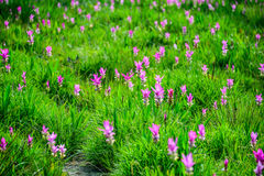 Siam Tulip Royalty-vrije Stock Foto
