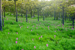 Siam Tulip Immagine Stock