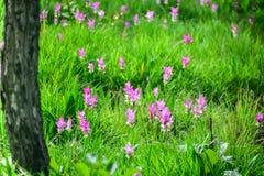 Siam Tulip Royalty-vrije Stock Fotografie