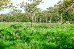 Siam Tulip Stock Foto