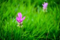 Siam Tulip Immagini Stock Libere da Diritti