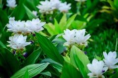 Siam Tulip Royalty-vrije Stock Foto's