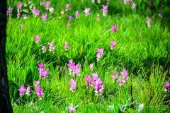 Siam Tulip Fotografie Stock