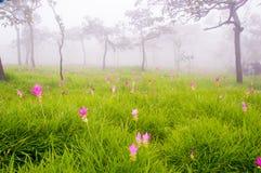 Siam Tulip Fotografia Stock