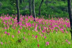 Siam Tulip  beautiful Stock Photography